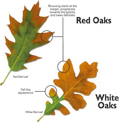 Red Oak and White Oak leaves showing oak wilt symptoms