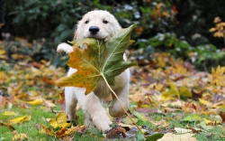 Dog running with leaf